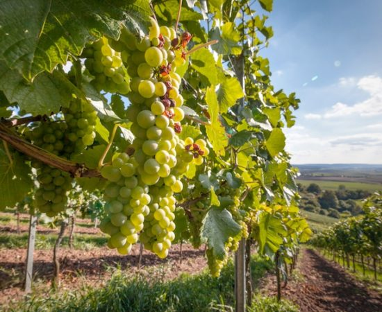 vigna-vigneto-uva-bianca-grappolo-by-hykoe-fotolia-750